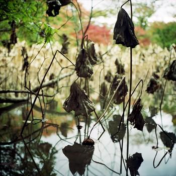 Lotus Silhouette, Kyoto Botanical Garden