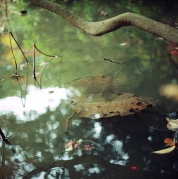 Drowning Lotus Leaf, Kyoto Botanical Garden