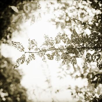 Lace Leaves, Kamogawa