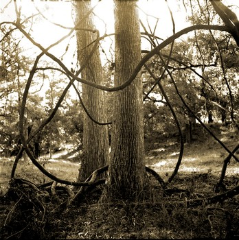 Cypress Creek Grape Vine, Austin, Texas