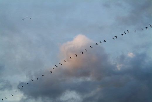 Thirty-Two Geese and Four Over My Garden
