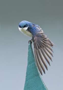 Tree Swallow On Our Funny Fence