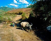 boys herd waterbuffaloes