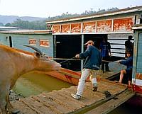 shipping water buffaloes