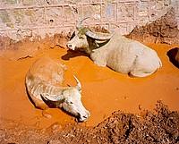 water buffalo bath