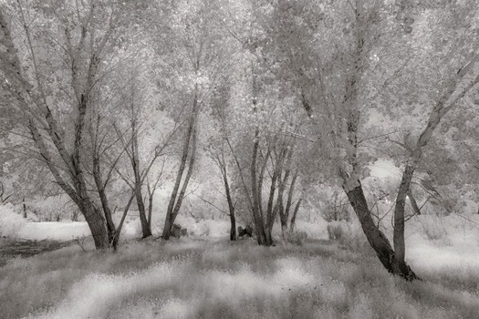 Cottonwoods & Grasses, Summer, Owens River