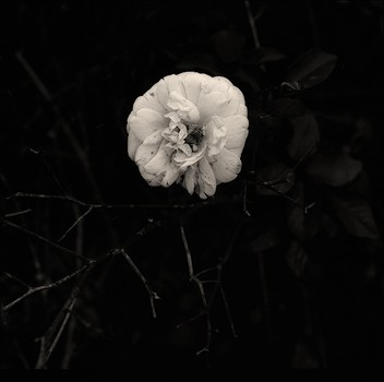 Wild White Rose - Albany Shoreline