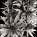 Echium aculeatum Leaves