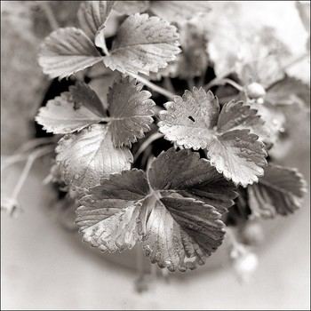 Strawberry Leaves in Winter