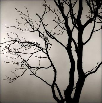 Tree In Fog, Marin Headlands