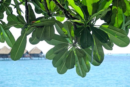 Tiare Tahiti Leaves
