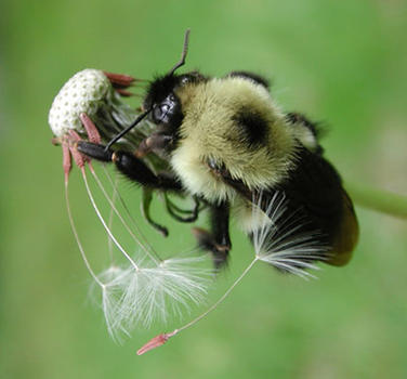 Bee with Dandelion