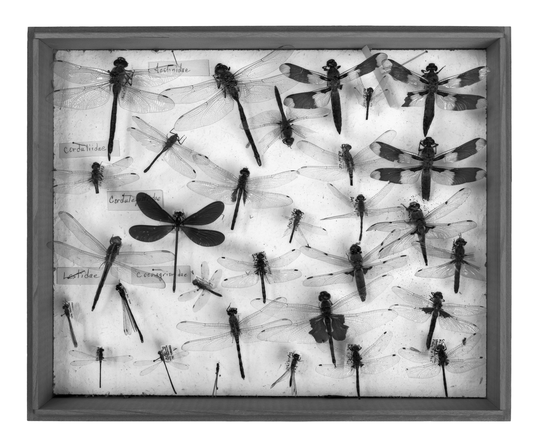 Dianne Kornberg, Insecta 3